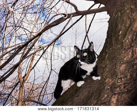 Scared black and white cat wide-eyed sitting on the tree in early spring.