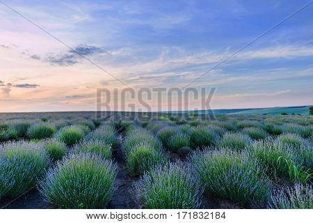 Photo of green and purple flowers in a lavender field in bloom at sunset, dramatic sky, moldova