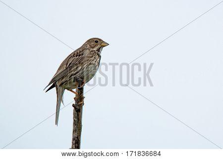 Wild corn bunting or Emberiza calandra singing on a twig