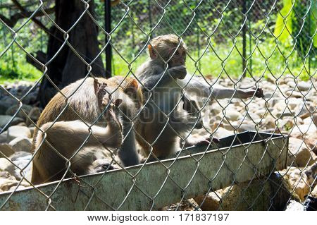Two Monkeys Sitting In The Cage. They Drink Water
