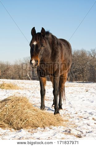 Dark bay horse eating his hay in a snowy pasture on a sunny winter day