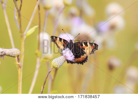 butterfly with beautiful wings sitting on a prickly pink thistles