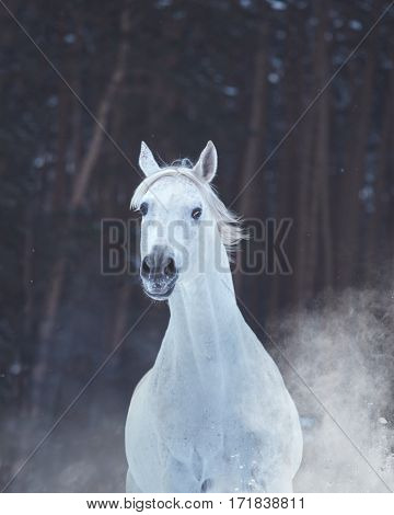 Portrait of white horse on snow on forest background
