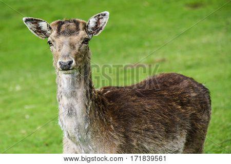 female fallow deer (doe) in an enclosure
