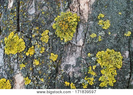 maritime sunburst lichen (Xanthoria parietina) on the bark of the great maple (Acer pseudoplatanus)