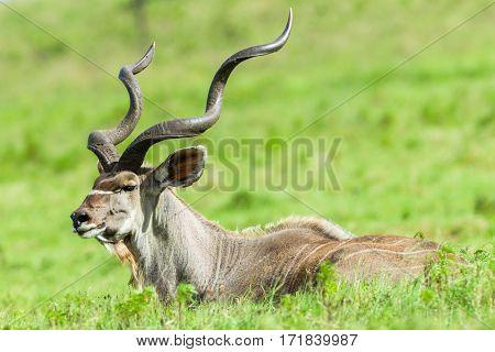 Kudu Head Horns Wildlife Animals