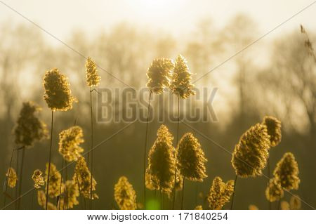 Moody shot of dry tall grass blossoms against low winter sunset with trees in background.