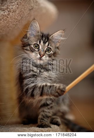 The gray striped kitten plays with a stick.