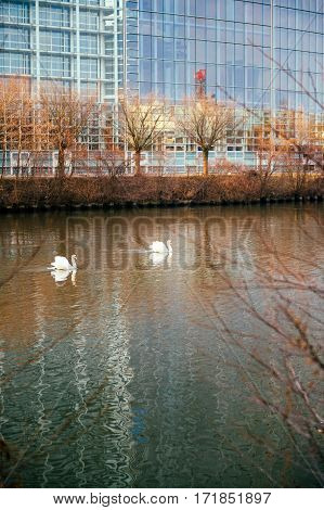 Two white swans on Ill river with European Parliament facade in the background