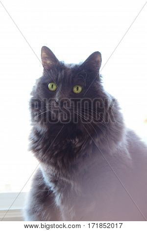 A fluffy, grey cat sitting in front of a window.