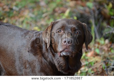 Great capture of a chocolate lab looking very curious.