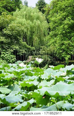 Natural beauty within shen's garden in the city of shaoxing china located in Zhejiang province.