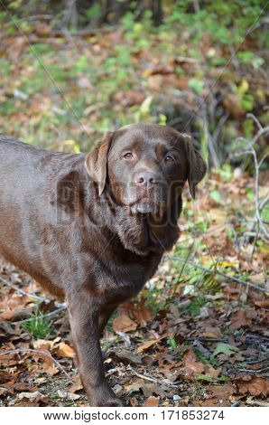 Chocolate lab standing in leaves in the woods in early fall.