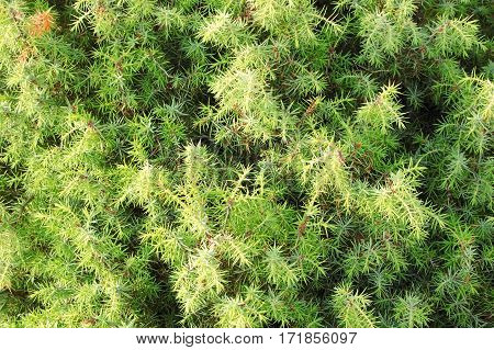 Green juniper plant with sharp torn close up