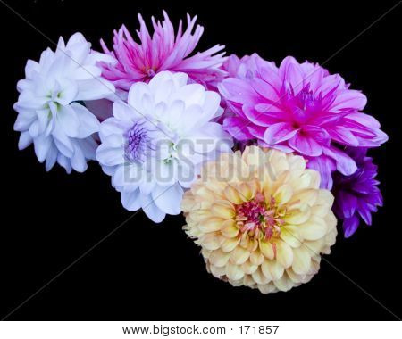 Dahlias On Black