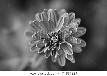 Black and white photograph of a chrysanthemum flower with shallow depth of focus. View from above.