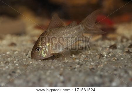 Corydoras polystictus catfish searching for food in the sand