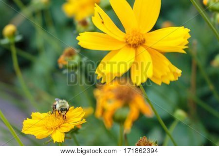 A bee getting nectar from a yellow coreopsis flower with its proboscis