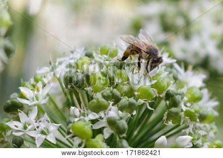 A bee feeding on a green onion blossom with its proboscis