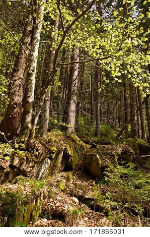 Beech Forest In The Carpathian Mountains