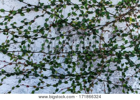 Green leafed ivy growing on white brick wall