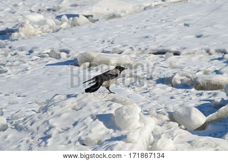 In the winter the river froze over ice crow is sitting.