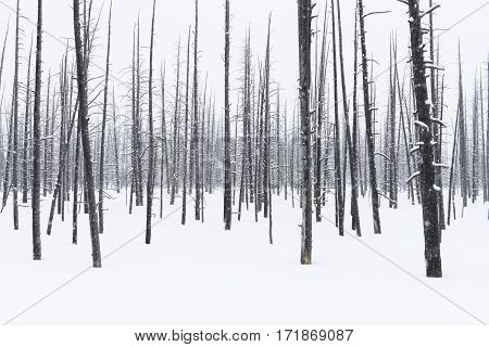Lodgepole Pine Trees in Snow in Winter