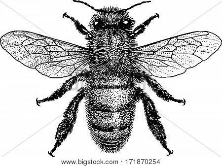 Bee illustration, engraving, drawing, ink, insect, realistic