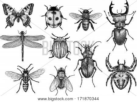 Insect collection illustration, engraving, drawing, ink, realistic