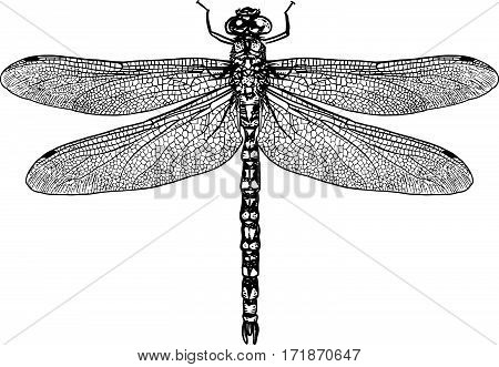 Dragonfly illustration, engraving, drawing, ink, realistic, water