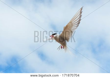 Arctic tern on white background - blue clouds Iceland
