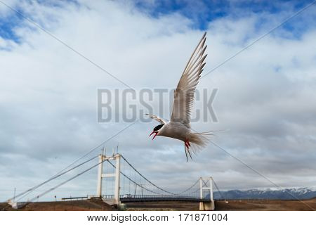 Arctic tern on white background - blue clouds