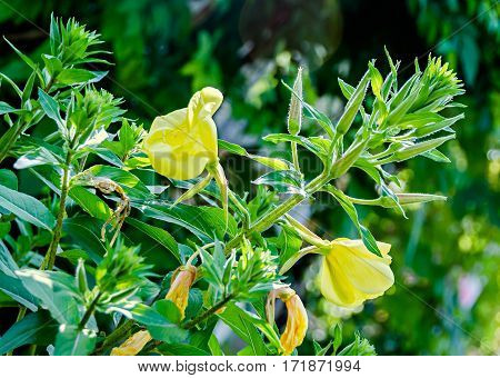 Yellow Oenothera Glazioviana Flower, A Species Of Flowering Plant In The Evening Primrose Family Kno