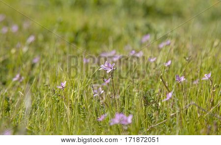 flora of Gran Canaria - small geranium flowers natural background