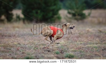 Dog Italian Greyhound Pursues Bait In The Field