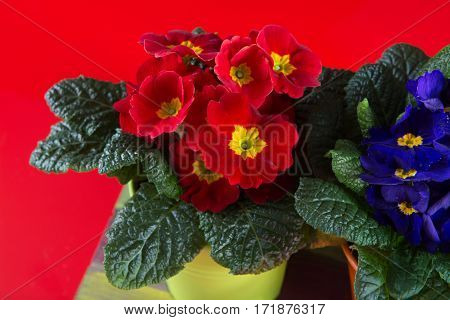 Spring colorful primroses flowers primula polyanthus in a flowerpot