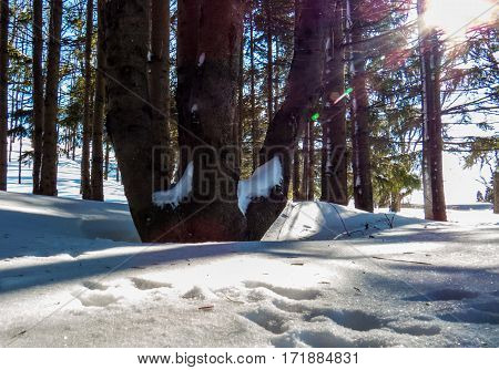A lot of animal paws over a snowy and bright forest floor. Levis, Quebec, Canada.