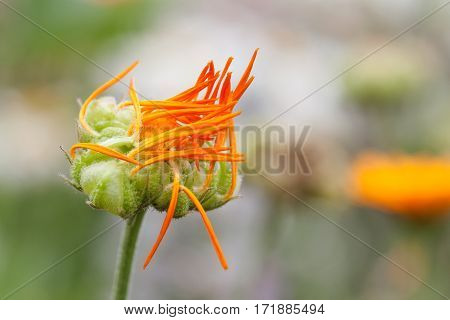 Marigold flower embryonic stage. Orange petals garden medical plant macro view. Shallow depth of field photo