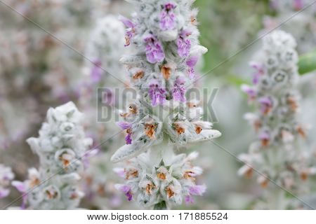 Blooming flowers Stachys byzantina medical plant macro view, shallow depth of field