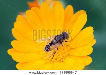 Hoverfly Eristalis on Calendula marigold plant macro view. Yellow petals flower with fly. Shallow depth of field, selective focus photo