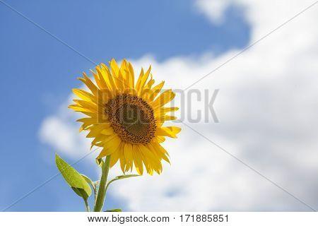 Sunflower blue sky white clouds background. Summertime landscape scene photo