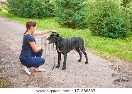 Handler With A Dog Cane Corso Italian Mastiff