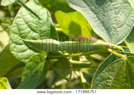 Organic green beans pod macro view. Healthy eco food concept. Shallow depth of field