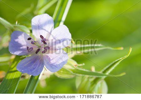 Macro view wild flower with blue petals. Summer day garden still life scene. Shallow depth field