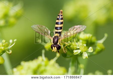 Macro view brown fly insect on greenery flower. Selective focus, shallow depth of field photo