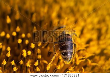 Honey bee pollinating sunflower. Macro view flower seeds and insect searching nectar. Shallow depth of field, selective focus photo