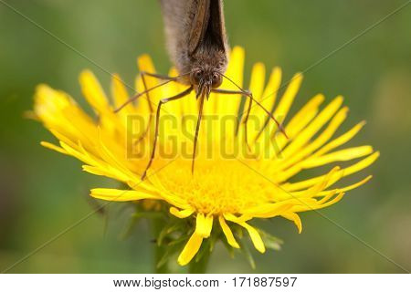Butterfly face macro view. Brown-winged insect on yellow petal flower background, macro view shallow depth of field photo