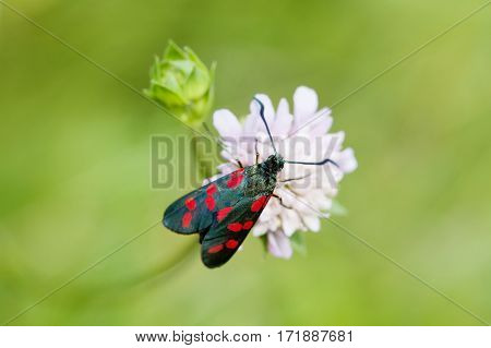 Black Butterfly with red spots. Six-spot burnet insect. Zygaena filipendulae macro view, soft focus, green background photo