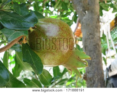 Pomegrane plant in biologic garden without pesticides