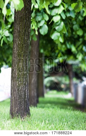 Row Of Green Trees In Park Alley In Spring With Shallow Depth Of Field. Blurred Background.